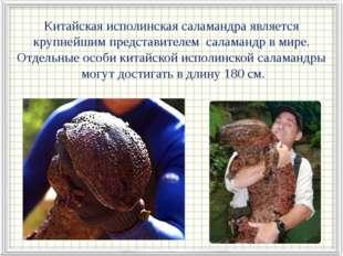 Китайская исполинская саламандра является крупнейшим представителем саламанд