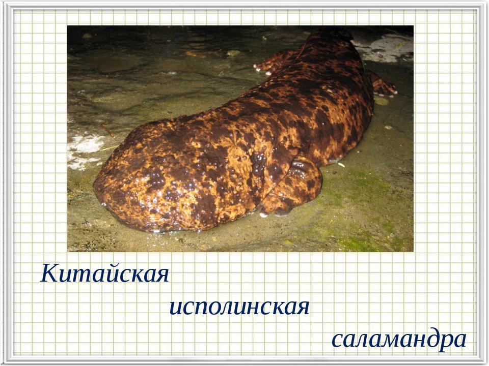 Китайская исполинская саламандра