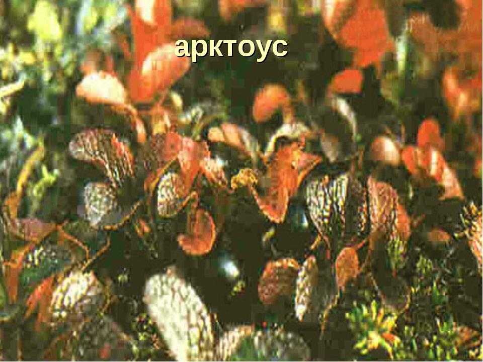 арктоус