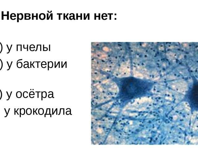 3. Нервной ткани нет: а) у пчелы б) у бактерии в) у осётра г) у крокодила