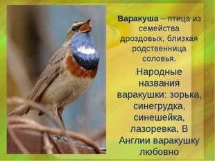 Варакуша – птица из семейства дроздовых, близкая родственница соловья. Народн