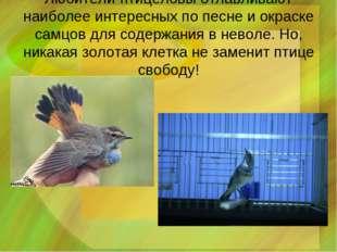 Любители-птицеловы отлавливают наиболее интересных по песне и окраске самцов