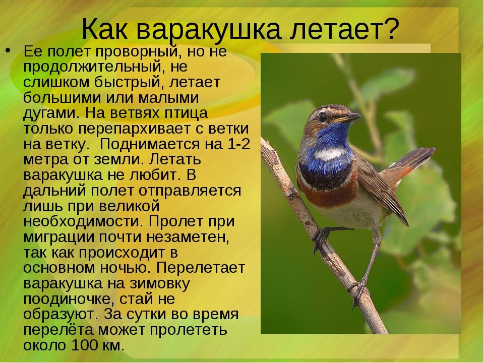 Как варакушка летает? Ее полет проворный, но не продолжительный, не слишком б...