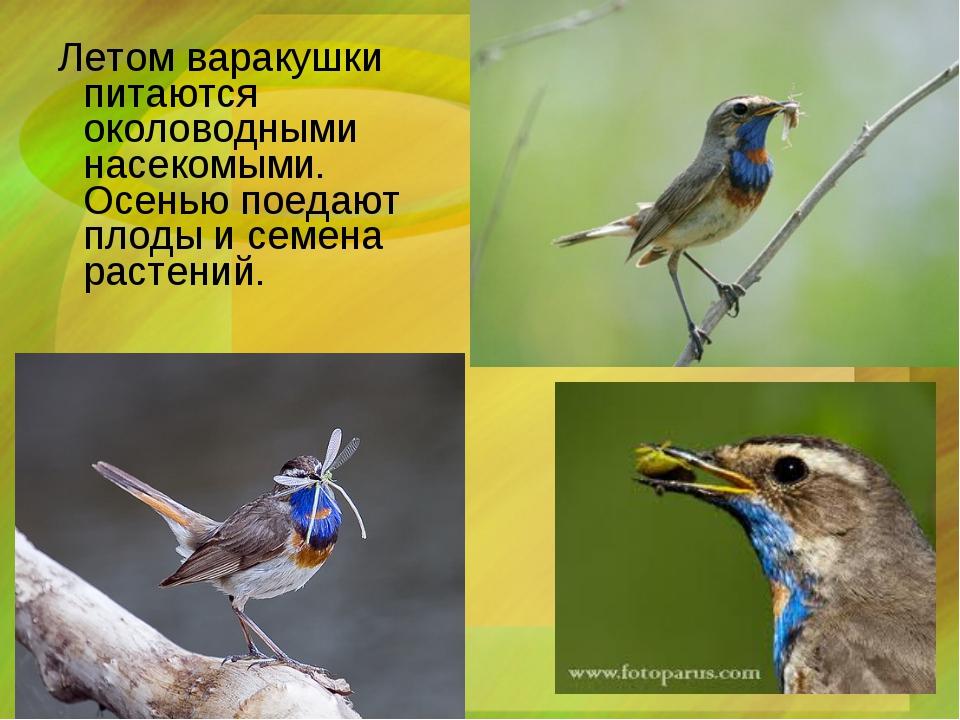 Летом варакушки питаются околоводными насекомыми. Осенью поедают плоды и сем...