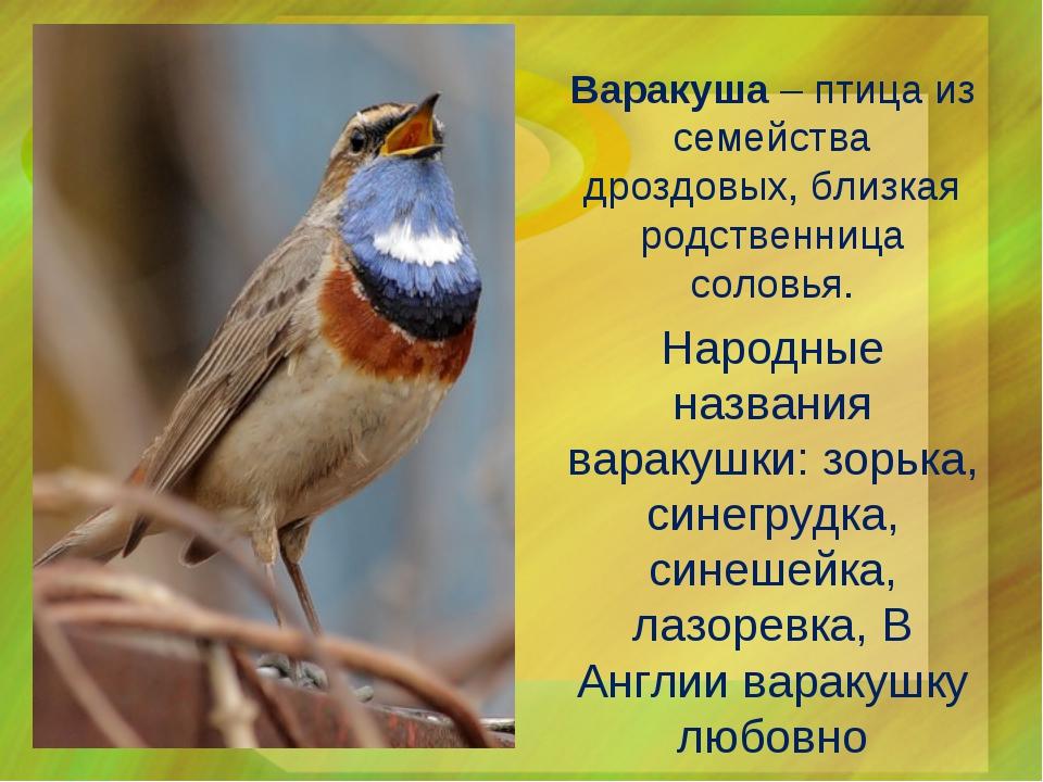 Варакуша – птица из семейства дроздовых, близкая родственница соловья. Народн...