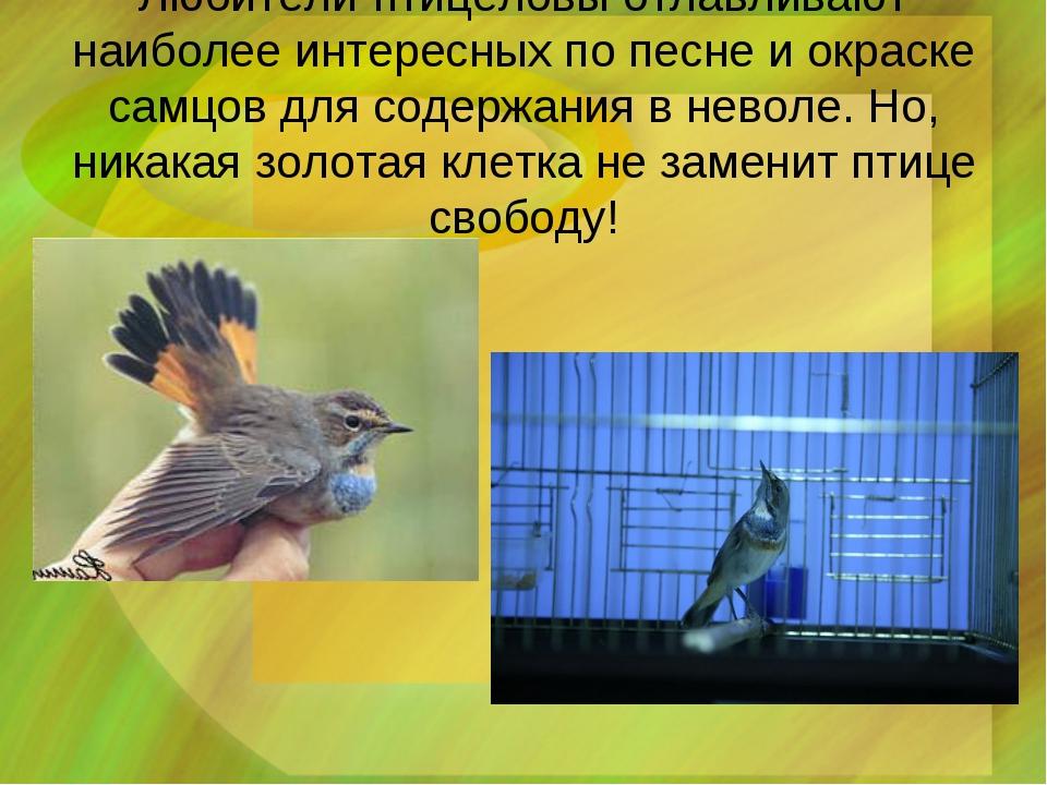 Любители-птицеловы отлавливают наиболее интересных по песне и окраске самцов...