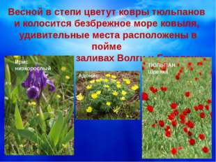 Весной в степи цветут ковры тюльпанов и колосится безбрежное море ковыля, уд