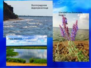 Река МЕНТА Шалфей на Волжском берегу Волгоградское водохранилище