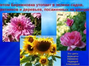 Летом Бережновка утопает в зелени садов, цветников и деревьев, посаженных на