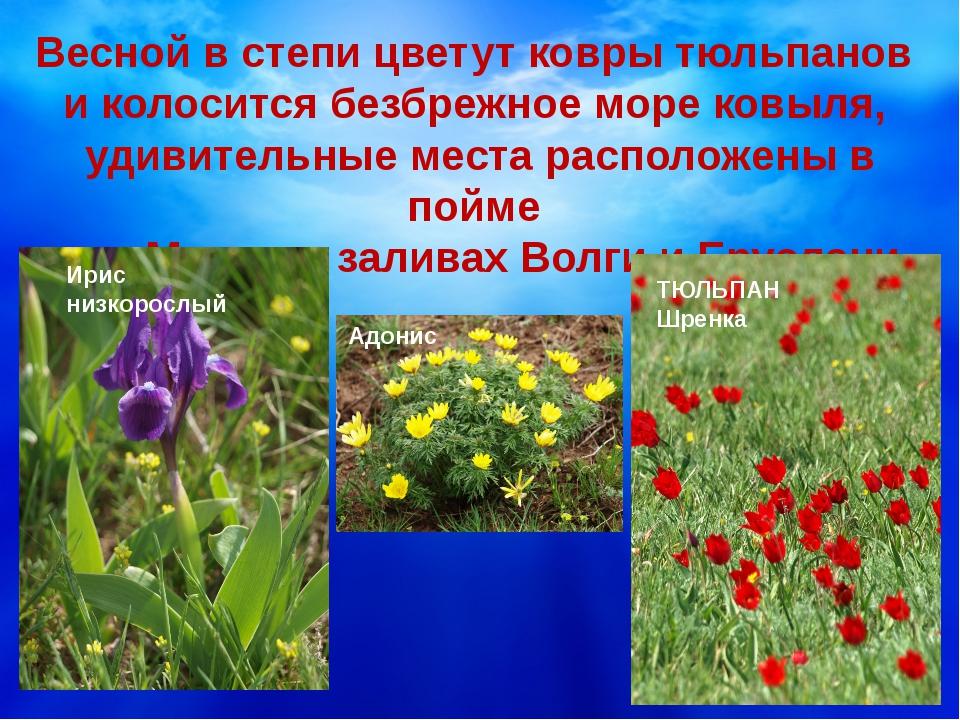 Весной в степи цветут ковры тюльпанов и колосится безбрежное море ковыля, уд...