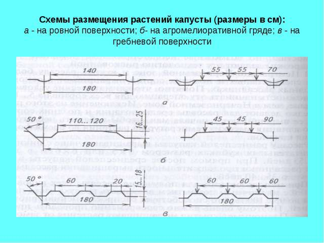 Схемы размещения растений капусты (размеры в см): а - на ровной поверхности;...