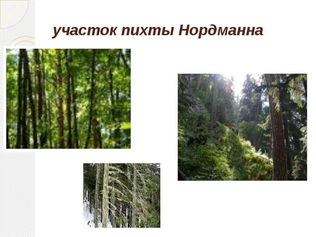 участок пихты Нордманна