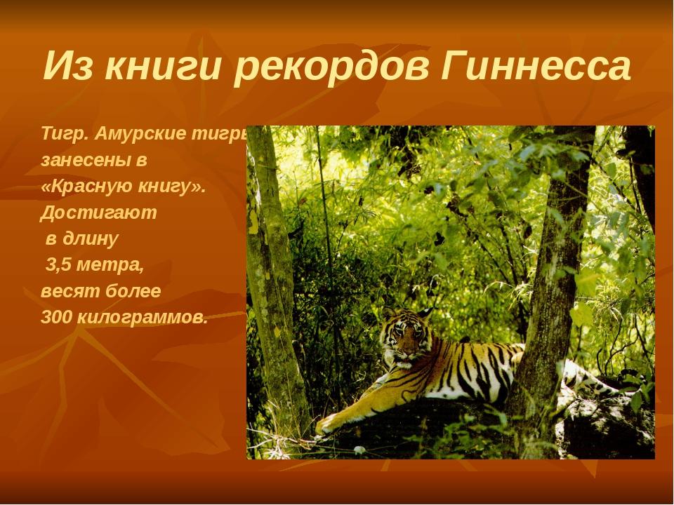 Из книги рекордов Гиннесса Тигр. Амурские тигры занесены в «Красную книгу». Д...