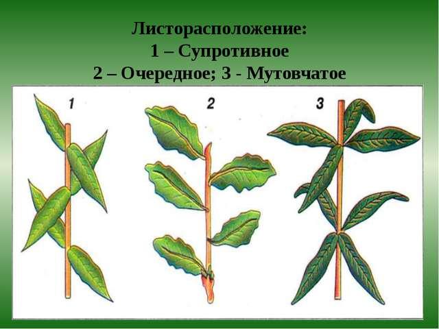 Листорасположение: 1 – Супротивное 2 – Очередное; 3 - Мутовчатое