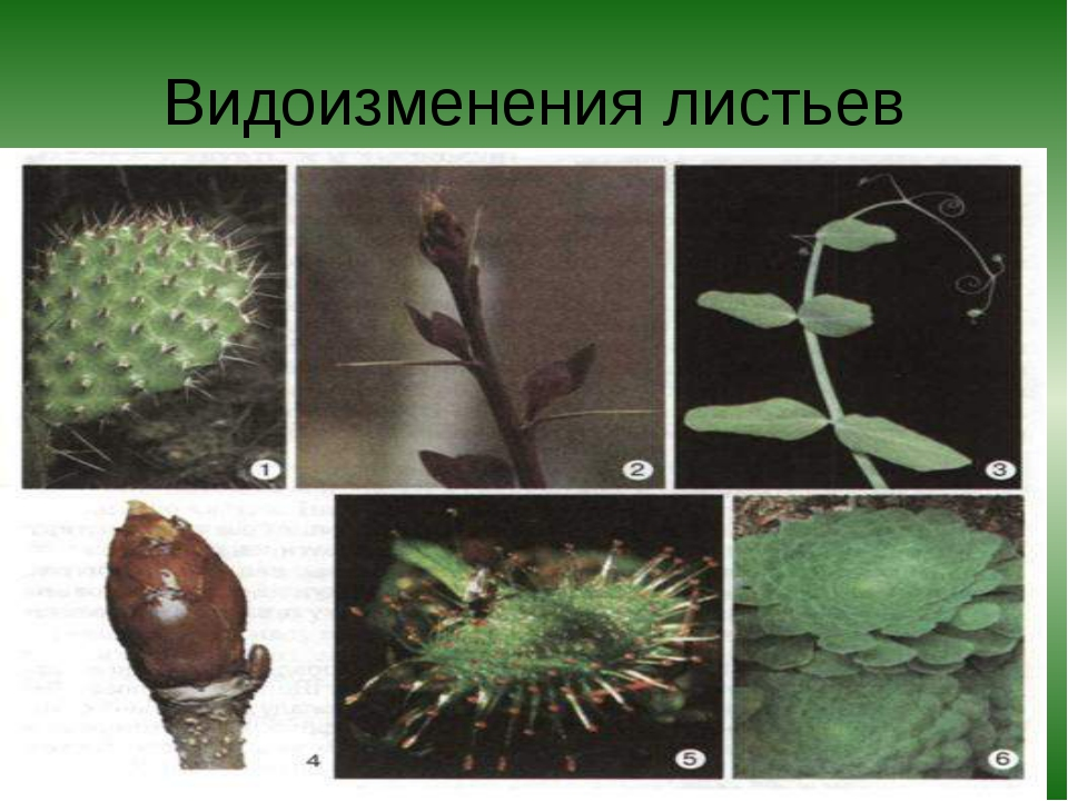 Видоизменения листьев