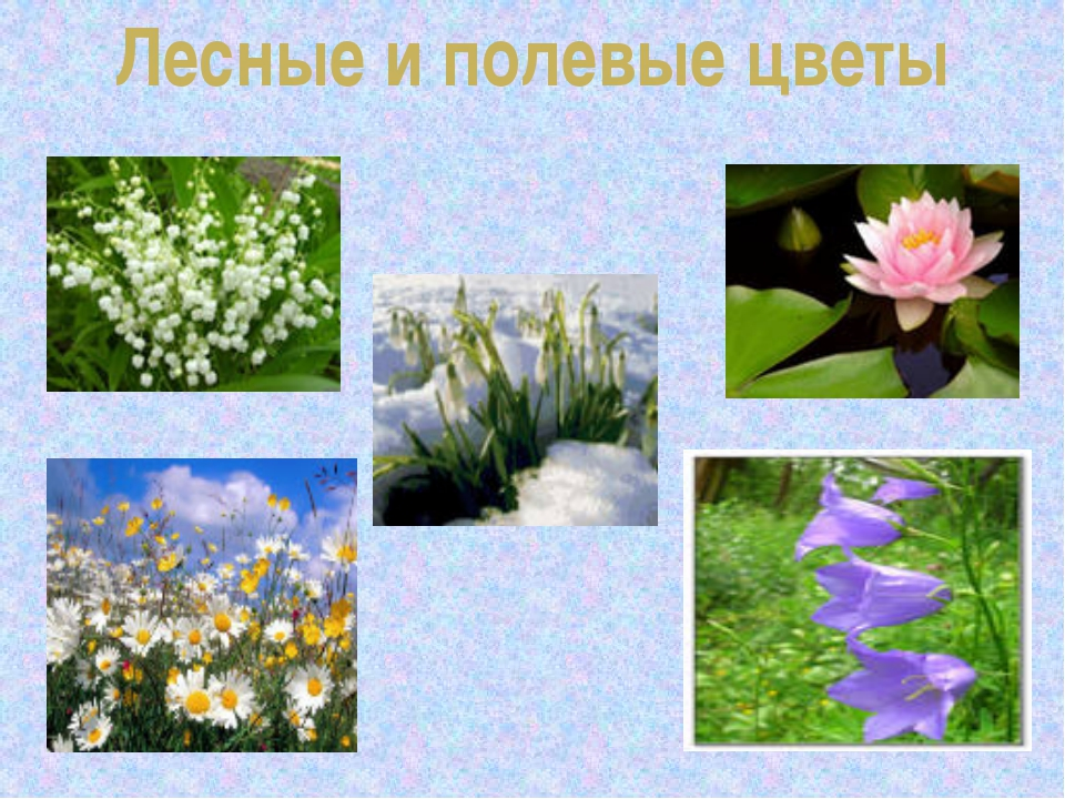 Лесные и полевые цветы