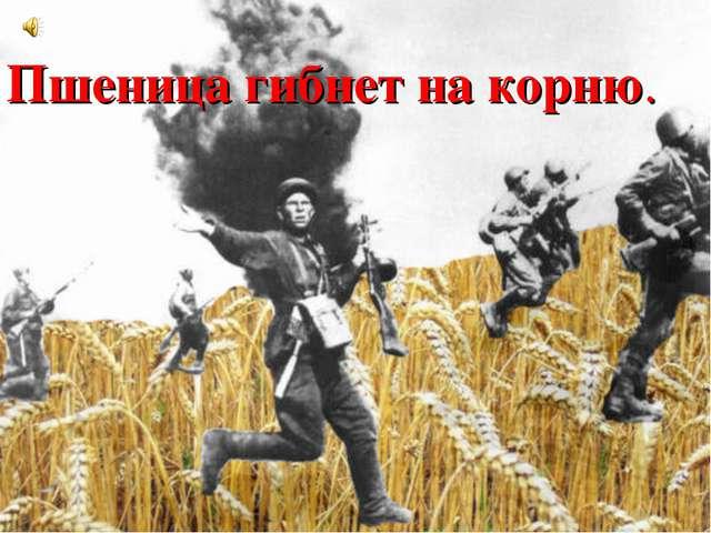 Пшеница гибнет на корню.