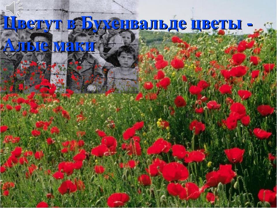 Цветут в Бухенвальде цветы - Алые маки