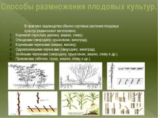 Способы размножения плодовых культур. В практике садоводства обычно сортовые