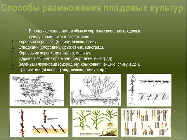Способы размножения плодовых культур. В практике садоводства обычно сортовые...