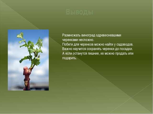 Выводы Размножать виноград одревесневшими черенками несложно. Побеги для чере...