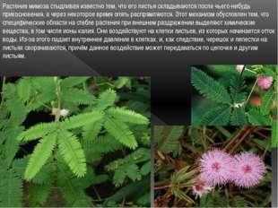 Растение мимоза стыдливая известно тем, что его листья складываются после чье