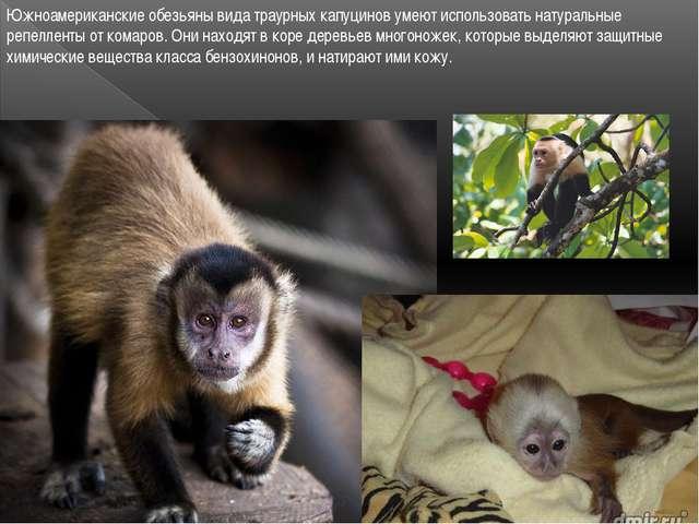 Южноамериканские обезьяны вида траурных капуцинов умеют использовать натураль...
