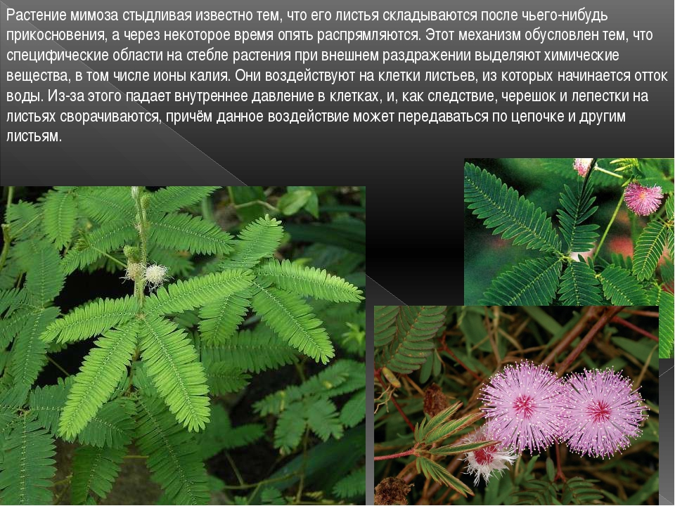 Растение мимоза стыдливая известно тем, что его листья складываются после чье...