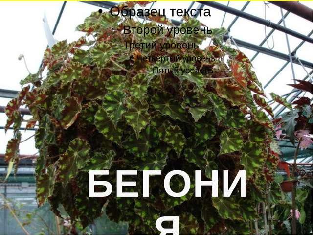 БЕГОНИЯ