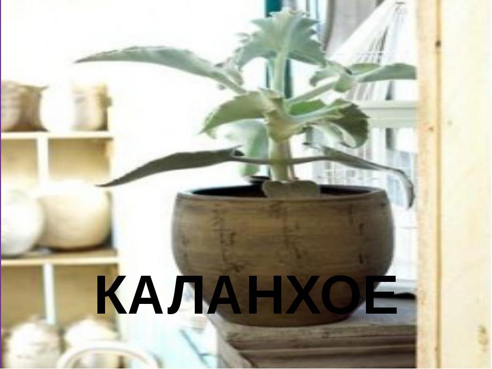 КАЛАНХОЕ