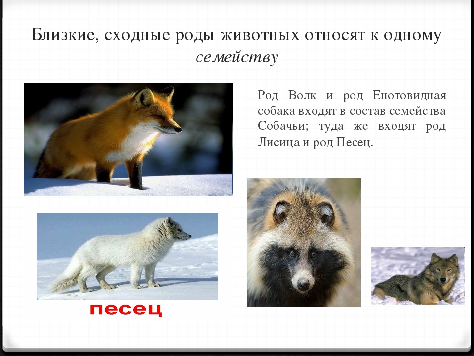 Близкие, сходные роды животных относят к одному семейству Род Волк и род Ено...