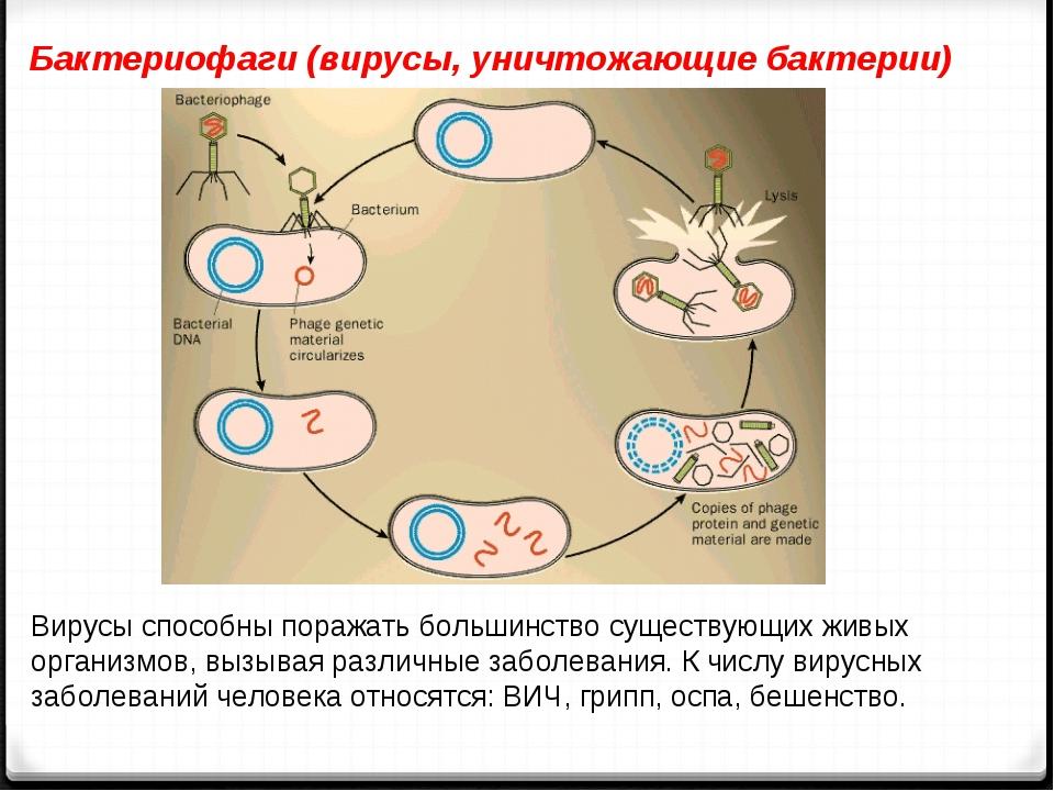Бактериофаги (вирусы, уничтожающие бактерии) Вирусы способны поражать большин...