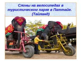 Слоны на велосипедах в туристическом парке в Паттайе. (Тайланд)