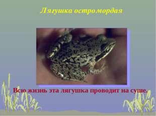 Лягушка остромордая Всю жизнь эта лягушка проводит на суше.