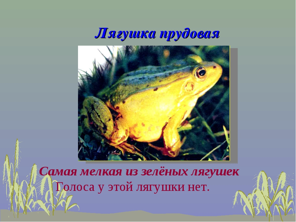Лягушка прудовая Голоса у этой лягушки нет. Самая мелкая из зелёных лягушек