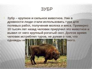 ЗУБР Зубр – крупное и сильное животное. Уже в древности люди стали использова