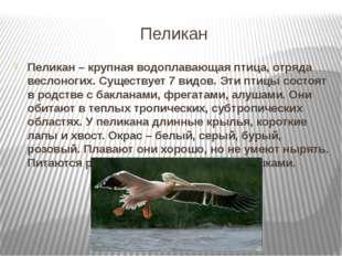 Пеликан Пеликан – крупная водоплавающая птица, отряда веслоногих. Существует