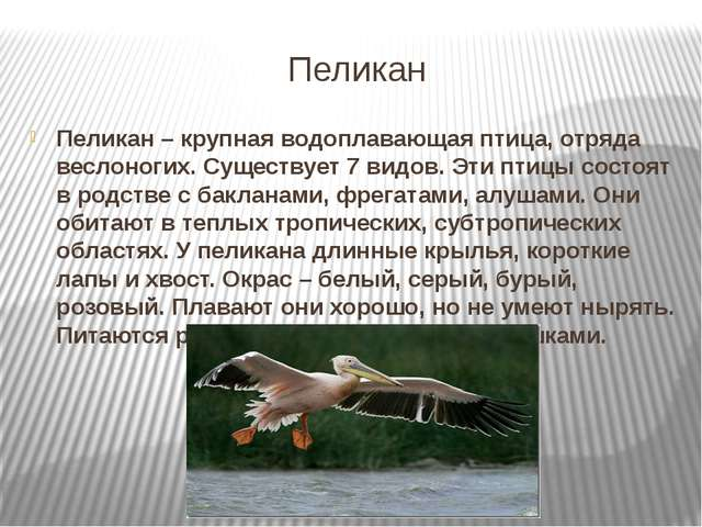 Пеликан Пеликан – крупная водоплавающая птица, отряда веслоногих. Существует...