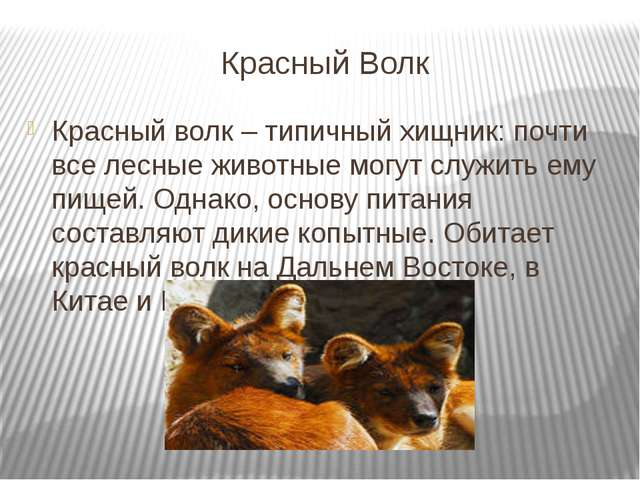 Красный Волк Красный волк – типичный хищник: почти все лесные животные могут...