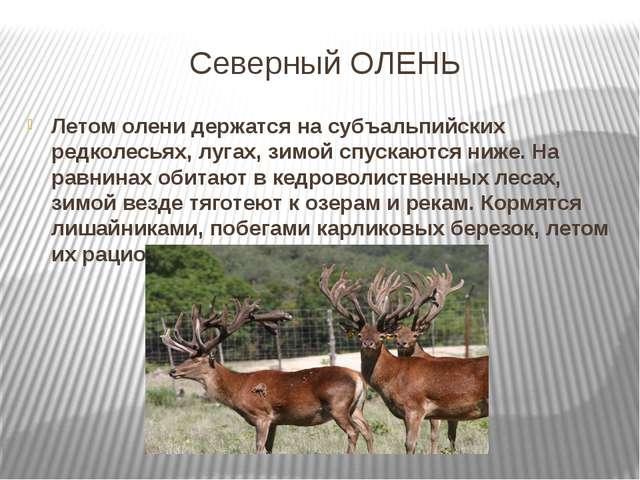 Северный ОЛЕНЬ Летом олени держатся на субъальпийских редколесьях, лугах, зим...