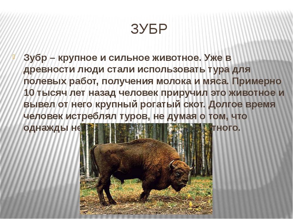 ЗУБР Зубр – крупное и сильное животное. Уже в древности люди стали использова...