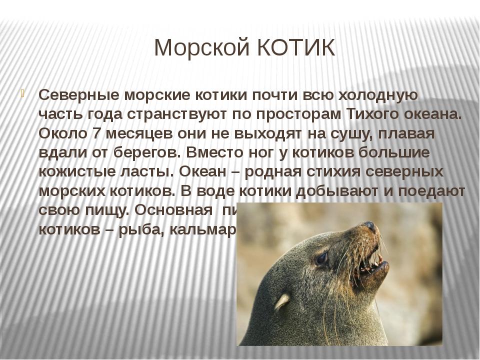 Морской КОТИК Северные морские котики почти всю холодную часть года странству...