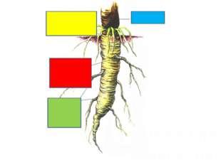 Покажите зоны корня