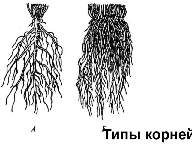 Типы корней