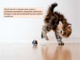 Практически в каждом доме, рядом с человеком проживают домашние животные, кот