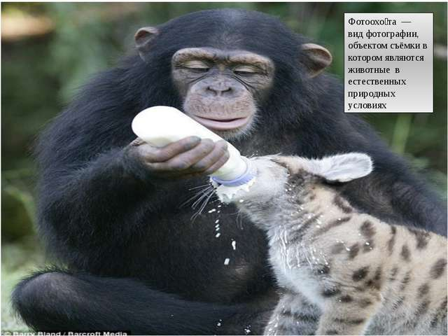 Фотоохо́та — вид фотографии, объектом съёмки в котором являются животные в е...