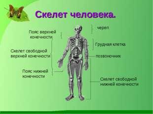 Скелет человека. череп Пояс верхней конечности Скелет свободной нижней конеч