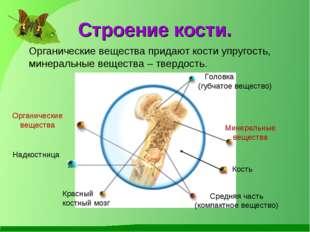 Строение кости. Кость Головка (губчатое вещество) Красный костный мозг Средня