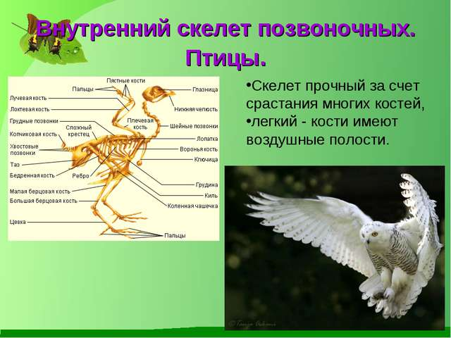 Внутренний скелет позвоночных. Птицы. Скелет прочный за счет срастания многих...
