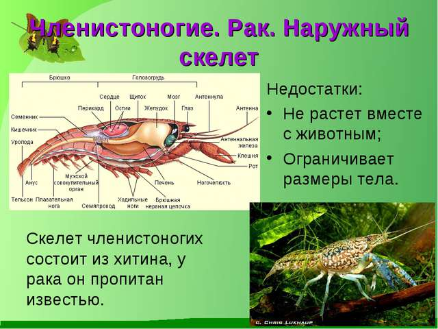 Членистоногие. Рак. Наружный скелет Недостатки: Не растет вместе с животным;...